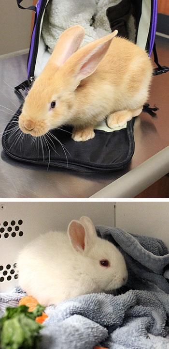 CVVH-Rabbits