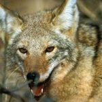 Coyote-blog